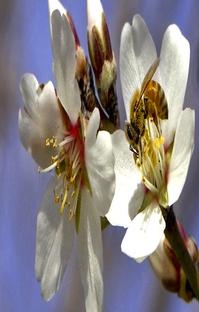 پادکست The Bees Go To California